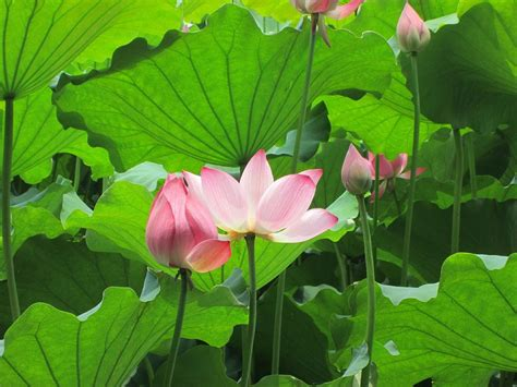 pink lotus magic lotuswei