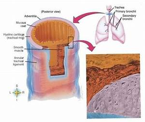 Trachea Diagram