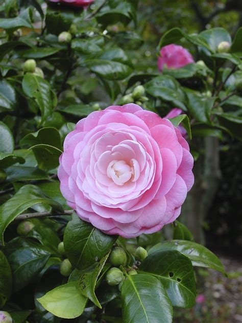 Camellia Planting And Care - How To Care For A Camellia Plant
