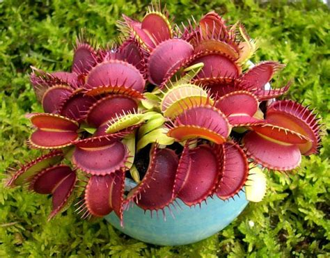 indoor vertical garden how to grow carnivorous plants care and growing information