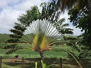 Palmier De Jardin : le palmier du voyageur les chais le jardin botanique ~ Nature-et-papiers.com Idées de Décoration