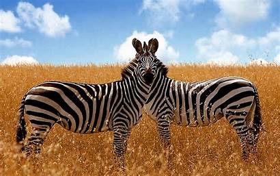 Zebra Zebras Backgrounds Wallpapers Desktop Pixelstalk