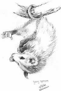 Opossum Paintings Opossum Drawing Wwwimgarcadecom