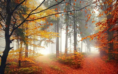 nature forest trees fall mist leaves path wallpaper