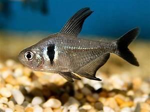 Black phantom tetra, Hyphessobrycon megalopterus — Fish ...