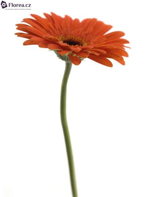 a candela gerbera gr candela 10cm florea