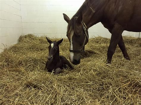 luck blind brand horse thoroughbred causeway giant baby foals thoroughbredchampions race racehorse