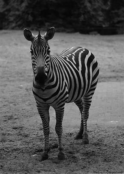 Animals Animated Animal Gifs Zebras African Zebra