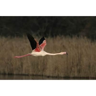 Flamingo Birds Multicolor in Pictures • Elsoar