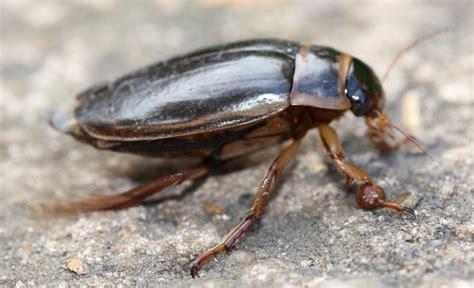 great diving beetle norfolk wildlife trust