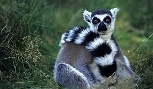 El cambio climático aumenta los parásitos de los lemures de Madagascar