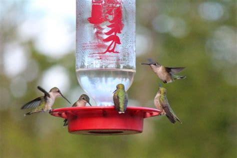 when should i put out my hummingbird feeder hummingbird feeder cleaning downeast thunder farm