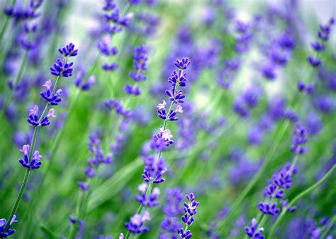 connecticut garden journal grow   lavender