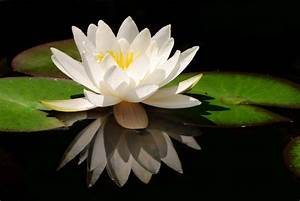 Gallery – Whi... White Water Lily Quotes