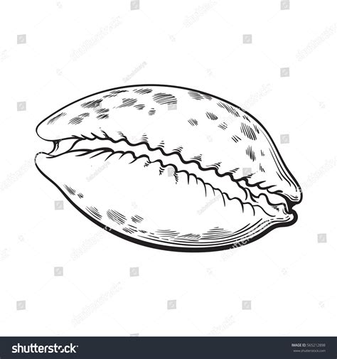 cowrie cowry sea shell sketch style stock vector