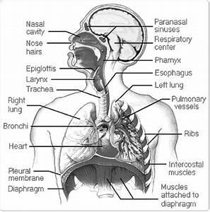 12 Best Images Of Anatomy Human Ear Diagram Worksheet