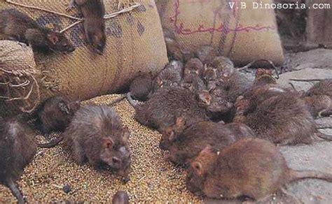 الفأر النرويجي rat من الآفات الخطيرة على الإنسان