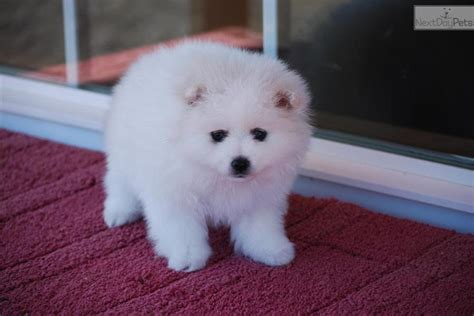 miniature american eskimo shedding miniature american eskimo dogs american eskimo for sale