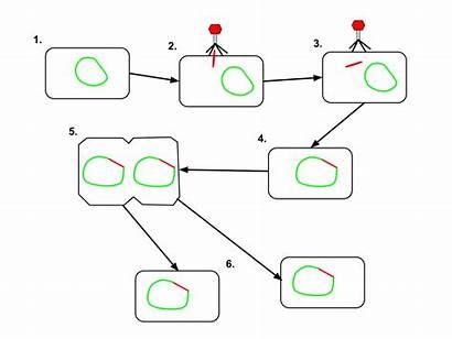 Lysogenic Cycle Zyklus Daur Lytic Diagram Wikipedia