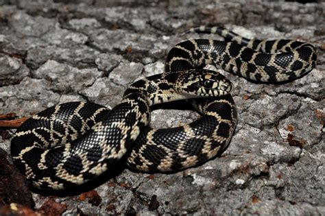Black Bull Snake (pituophis Catenifer Sayi