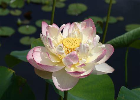 Nelumbo (Lotus) | A to Z Flowers