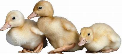 Duck Transparent Ducklings Duckling Tubes Animals Pngimg