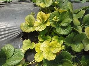 Warum Sind Pflanzen Grün : warum verf rben sich meine pflanzen gelb ~ Markanthonyermac.com Haus und Dekorationen