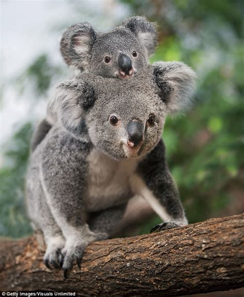 Koalas Could Be Wiped Out By A Chlamydia Epidemic  Daily Mail Online