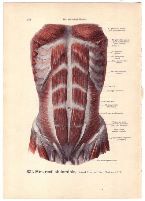 When a muscle is activated it contracts, making itself shorter and thicker, thereby pulling its ends closer. 1903 Antique ABDOMINAL MUSCLES Illustration