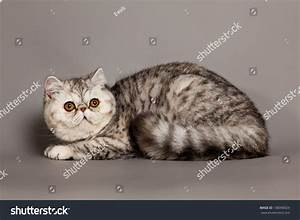 Exotic Shorthair Cat Persian Cat On Stock Photo 138090029 ...