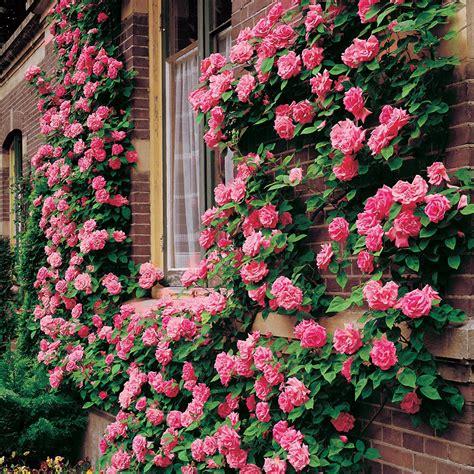 pictures of climbing roses zephirine drouhin climbing rose