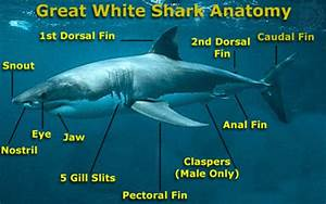 Interesting Facts About Great White Sharks For Kids