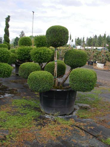 85 Best Evergreen Shrubs Images On Pinterest Evergreen