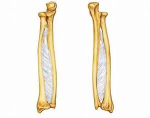 Lower Arm Bones