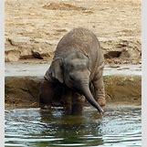 Full Grown Pygmy Elephant | 370 x 400 jpeg 45kB