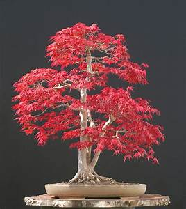 Bonsai Baum Arten : japanese maple bonsai stock image image of plant deciduous 2631091 ~ Sanjose-hotels-ca.com Haus und Dekorationen