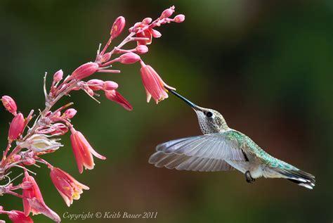 hummingbirds hawks aloft inc
