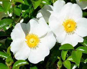 Cherokee Rose Free Stock Photo - Public Domain Pictures
