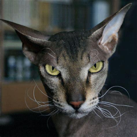 evil cats evil cat myniceprofile