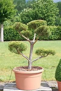 kiefer bonsai pon pon formgeholz pinus sylvestris pon With garten planen mit pinus bonsai kaufen