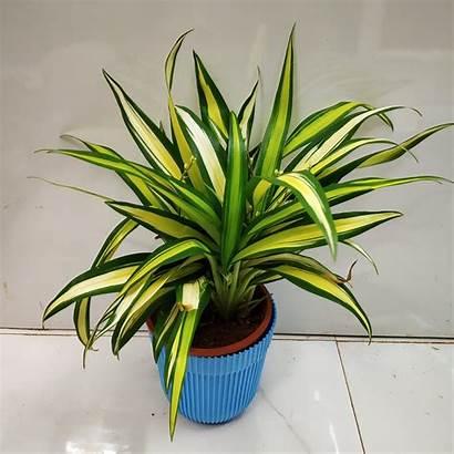 Spider Plant Pandanus Golden Nursery