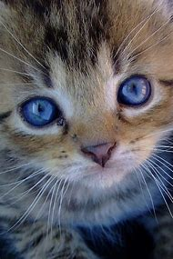 Cat with Blue Eyes Beautiful