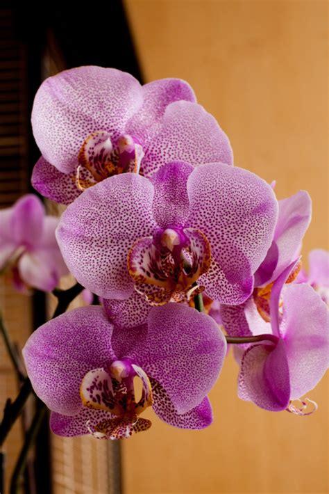 phalaenopsis bloom my phal orchids in bloom