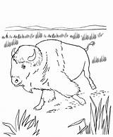 Coloring Bison Native Pages American Animal Sheets Wild Activity Crafts North Buffalo Americans Animals Printable America Indians Wildlife Activities Sheet sketch template