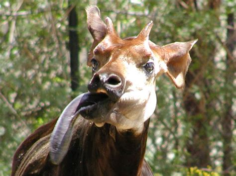 habitat si e social okapi intre girafa si zebra descopera