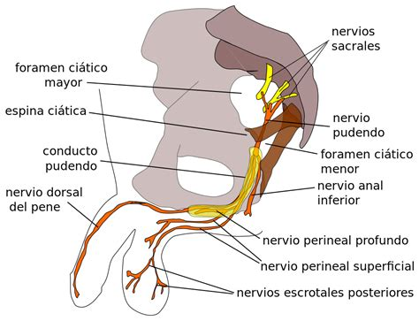 File Pudendal Nerve Svg Wikimedia Commons