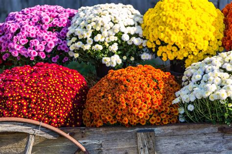 Time For Fall Flowers: 3-Quart Mums Are Just $4 At Lowe's ...