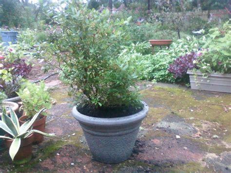 blueberry bush in pot vaccinium sunshine blue in a pot pamela phipps