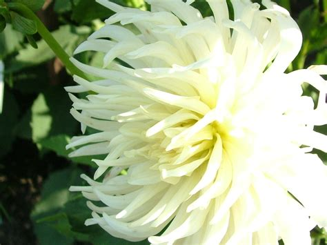white flower pictures index of wallpapers flowers 9 xls