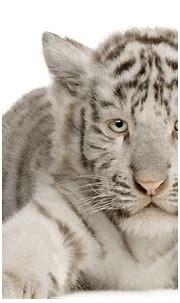 White Tiger HD Wallpaper | Background Image | 1920x1200 ...
